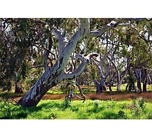 Strong Oz Eucalyptus Tree By Lorraine McCarthy Photographic Print
