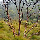 Eucalypt in the Rain by Harry Oldmeadow