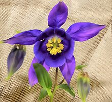 Purple Columbine by Kerry  Hill