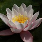 Water Lily by DES PALMER