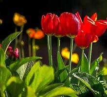Tulip Splendour 2 by MarilynB