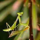 Praying mantis by AnnaKT