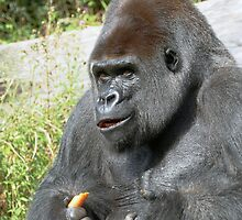 """A gorilla """"Silver Back"""" (6 c) (h) who is the star of the day .... by okaio caillaud olivier"""