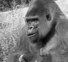 """A gorilla """"Silver Back"""" (6 n&b) (h) who is the star of the day .... by okaio caillaud olivier"""