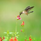 HUMMINGBIRD by Diane Peresie