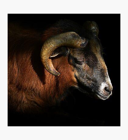 majestic sheep - photography Photographic Print