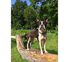 Portrait of Meryl the Boston Terrier Photographic Print