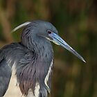 Tri-colored Heron with breeding plumage by Rob Lavoie