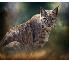 Bobcat Gaze Photographic Print