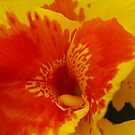 Canna Lily by kalaryder