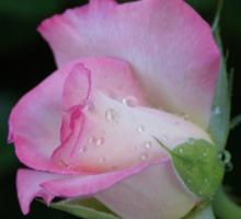Pink is beautiful! La Mirada, CA USA (Read Description) Sticker