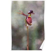 Flying Duck Orchid - Caleana major Poster