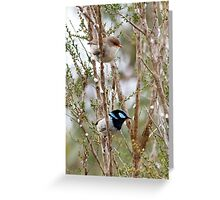 Superb Blue Wren, male and female - Malurus cyaneus Greeting Card