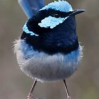 Superb Blue Wren - Malurus cyaneus by Paul Piko