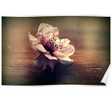 Cherry Blossom On A Table Top Poster