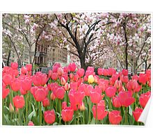 Colorful Spring Tulips, New York City Poster