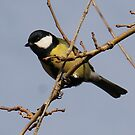 A Great Tit (Parus major) on a Branch in our garden in Romania by Dennis Melling