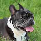 The Boston Terrier by AnnDixon