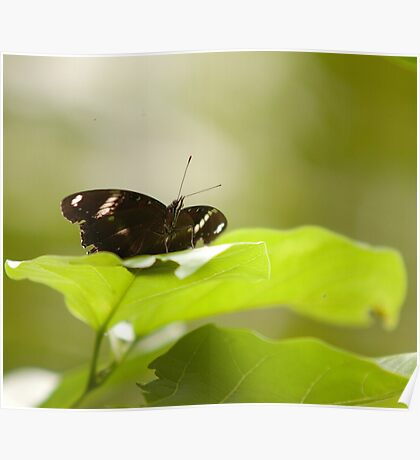 Pohnpeian Butterfly - Pohnpei, Micronesia Poster