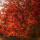 Maple On Autumn Fire by Ginger  Barritt