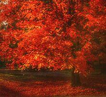 Red Maple by Ginger  Barritt