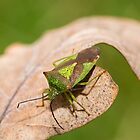 Hawthorn Shieldbug on Dead Leaf by Ashley Beolens