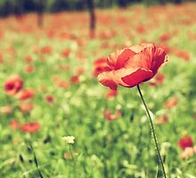 Vintage red poppies on green field by Antonio Gravante