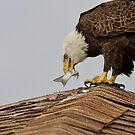 Eagle Eats Fish by TJ Baccari Photography