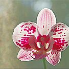Last Orchid by Chet  King
