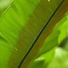 Bird's Nest Fern - Pohnpei, Micronesia by Alex Zuccarelli