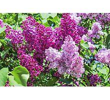 Fragrant lilac bush. Photographic Print