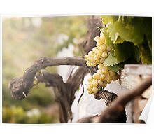 Bunch of white grapes in the vineyard Poster