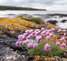 Mull Thrift by Christopher Cullen