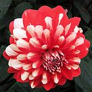 Bicolor dahlia by bubblehex08