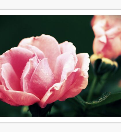 Roses are always fashionable Sticker