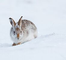 Mountain Hare in Snow by cjdolfin
