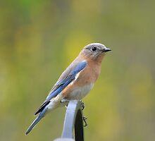 Stunning Female Eastern Bluebird by RoyceRocks