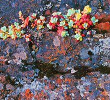 STONECROP ON LICHEN COVERED ROCK by Chuck Wickham
