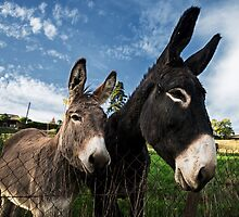 Donkeys 2 by TonyPriestley