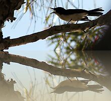 Willy Wagtail and Friend by Donuts