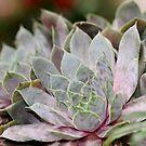 Succulent by Ginger  Barritt