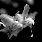 Christmas Cactus Blossom by the57man