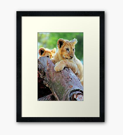 Lion Cubs at Play Framed Print