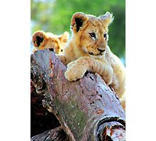 Lion Cubs at Play Photographic Print