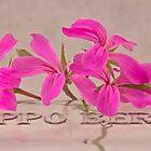 Pink Geranium Blossoms - Macro by Sandra Foster
