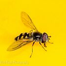 Hover Fly by Rick Playle