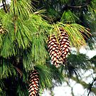 On The Threshold of Winter - Sunlit Pine Cones  by BlueMoonRose