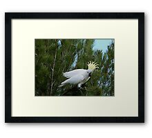 'YOU MADE ME DROP IT!'  Sulpher Crested Cockatoo, Adelaide Hills. Framed Print