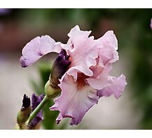 Iris In Bloom Photographic Print