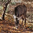 Mule Deer Doe 2 by Lori Peters